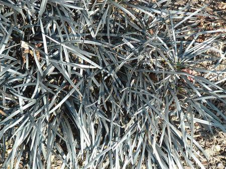 Ophiopogon Nigrescens